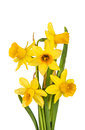 Beautiful Yellow Daffodils flowers isolated Royalty Free Stock Photos