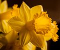 Beautiful yellow daffodils form a background Stock Photography