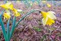 Beautiful yellow daffodils Narcissus Royalty Free Stock Photo
