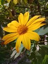 stock image of  A beautiful yellow daisy flower in the garden