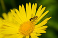 Beautiful yellow daisy oxeye with a bee collecting nectar green background Stock Image