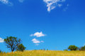 Beautiful yellow field and trees over deep blue sky Royalty Free Stock Image