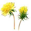 Beautiful Yellow Flower Dandel...