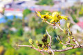 Beautiful yellow flower of great elephant apple tree, or Dilleni Royalty Free Stock Photo