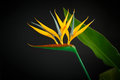 Beautiful yellow flower Strelitzia Royalty Free Stock Photo