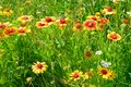 Beautiful yellow flowers on the lawn Royalty Free Stock Photo