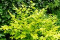 Beautiful yellow foliage on Ligustrum Vicaryi bush with evergreen plants in ornamental garden