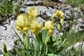 The beautiful wild yellow iris flowers in the bloom Royalty Free Stock Photo