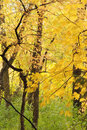 Beautiful yellow leaves in an autumn woods Stock Photos
