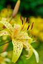 Beautiful yellow lilly flower outdoors Royalty Free Stock Photo