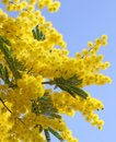 Beautiful yellow mimosa in bloom and the sky Royalty Free Stock Images