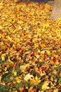 Beautiful yellow and orange autumn leaves sunshine Stock Images