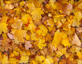Beautiful yellow and orange autumn maple leaves carpet pattern Royalty Free Stock Photo