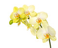 Beautiful yellow orchid flower on white Royalty Free Stock Photo
