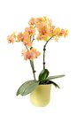 Beautiful yellow orchid in vase isolated on white Royalty Free Stock Photos