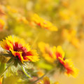 Beautiful yellow red flowers (Gaillardia hybrida) Royalty Free Stock Images