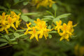 Beautiful yellow rhododendron flowers on a natural background