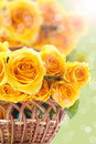 Beautiful yellow rose Stock Image