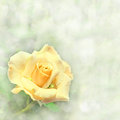 A beautiful yellow rose in garden dreamy delicate image of Stock Images
