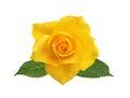 Beautiful yellow rose isolated on white Royalty Free Stock Photo