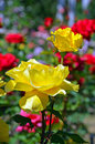 Beautiful yellow roses blooming in colorful summer garden Royalty Free Stock Images