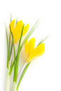 Beautiful yellow spring flowers isolated crocus on white background Stock Photos