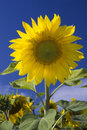 Beautiful yellow sunflower Stock Photography