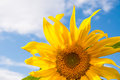 Beautiful yellow sunflower Royalty Free Stock Photo