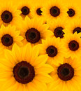 Beautiful yellow Sunflower background Stock Image