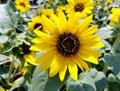 Beautiful yellow sunflower at full bloom Royalty Free Stock Photo