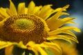 Yellow Sunflower petals closeup Royalty Free Stock Photo