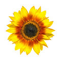 Beautiful Yellow Sunflower Petals Closeup Isolated Royalty Free Stock Photos