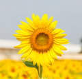 Beautiful yellow sunflower in the sun against sky Royalty Free Stock Photos