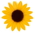 Beautiful yellow Sunflower. Vector Stock Photos