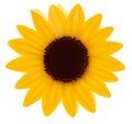 Beautiful yellow Sunflower. Vector Royalty Free Stock Photo