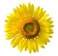 Beautiful yellow Sunflower on white background Royalty Free Stock Photo