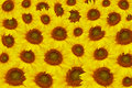 The beautiful Yellow sunflowers Stock Image