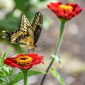 Yellow Swallowtail Butterfly on Red Zinnia Flower Royalty Free Stock Photo