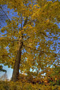 Beautiful yellow tree in fall Royalty Free Stock Images