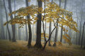 Beautiful yellow tree in a forest with fog autumn Stock Image