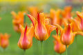 Beautiful yellow tulip in spring Royalty Free Stock Photo
