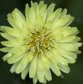 Yellow Carolina Desert-chicory...