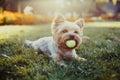 Beautiful Yorkshire Terrier Pl...
