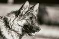 Beautiful Young Brown German Shepherd Puppy Dog Royalty Free Stock Photo