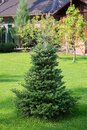Beautiful young evergreen spruce Christmas tree in the home garden on the lawn. Landscaping Royalty Free Stock Photo