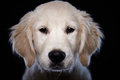 Beautiful young golden retriever with a face and soulful eyes looking directly at the camera close up head portrait on a Stock Photo