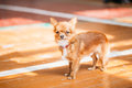 Beautiful Young Red Brown And White  Tiny Chihuahua Dog Staying Royalty Free Stock Photo