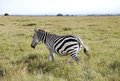 A beautiful zebra in the vast savannah grassland of ol pejeta conservancy are one species horse family Stock Images