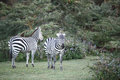 Beautiful Zebras near Naivasha lake Royalty Free Stock Photo