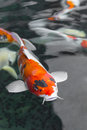 beautifulfish CARP fancy /  koi fish swimming in pond, japanese Royalty Free Stock Photo